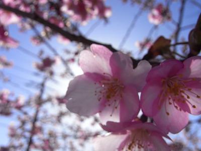 20090318kawachisakura.jpg