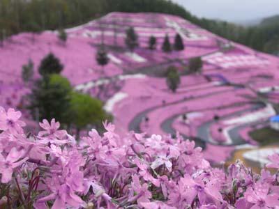 芝桜で型どられた「うし」もかわいかった