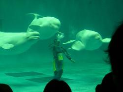 しまね海洋館アクアスのシロイルカショー
