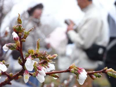 時期はずれの桜にはプチ感動